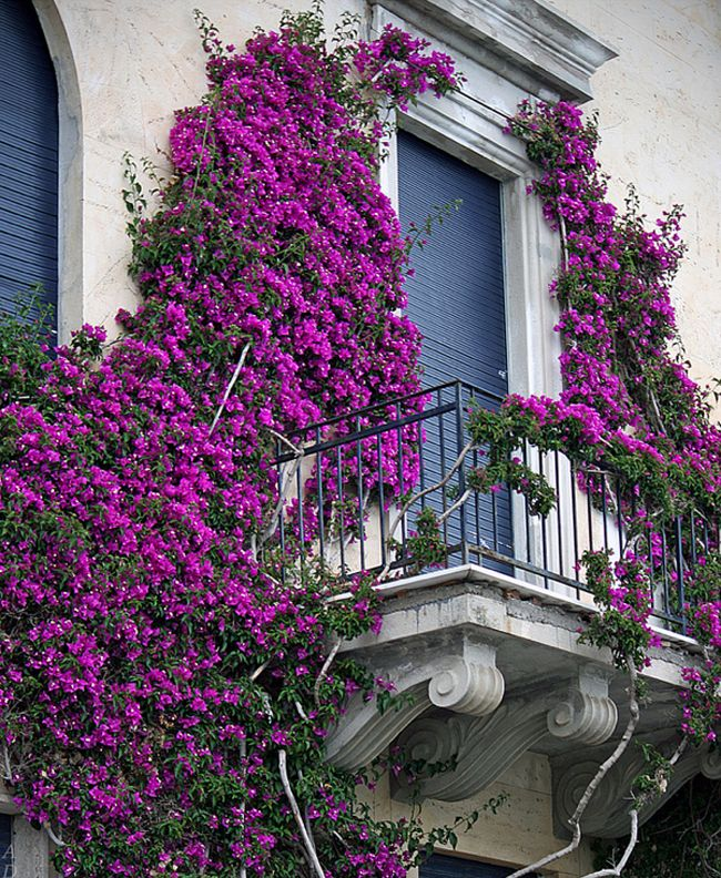 lovely purple floral balcony in cinque terre italy 35 Worlds Most Beautiful Balconies