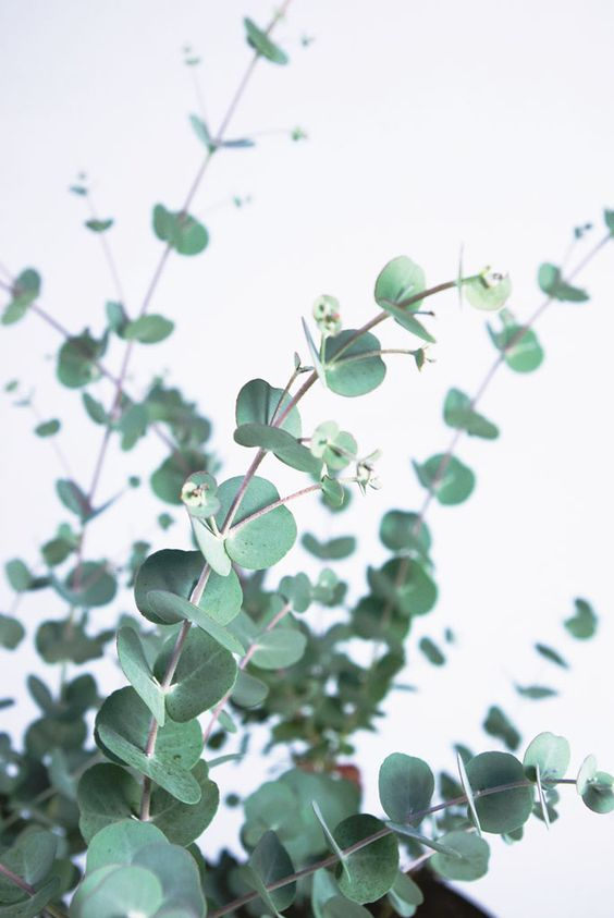 eucalyptus How to Permanently Get Rid of Wasps from Your Home