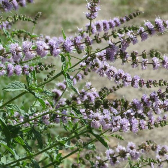 spearmint plants How to Permanently Get Rid of Wasps from Your Home
