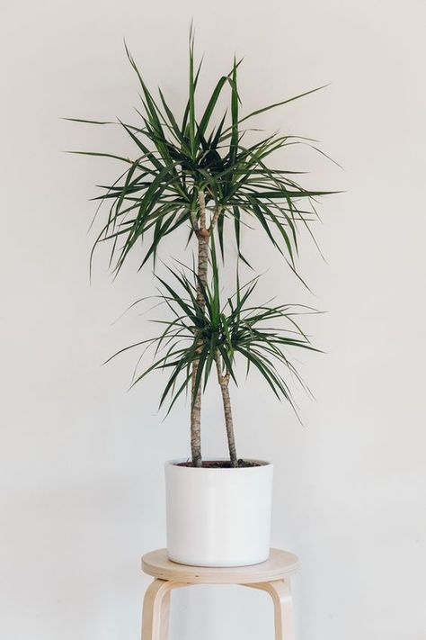 dracaena 7 Indoor Plants to Make Your Home a Natural Haven