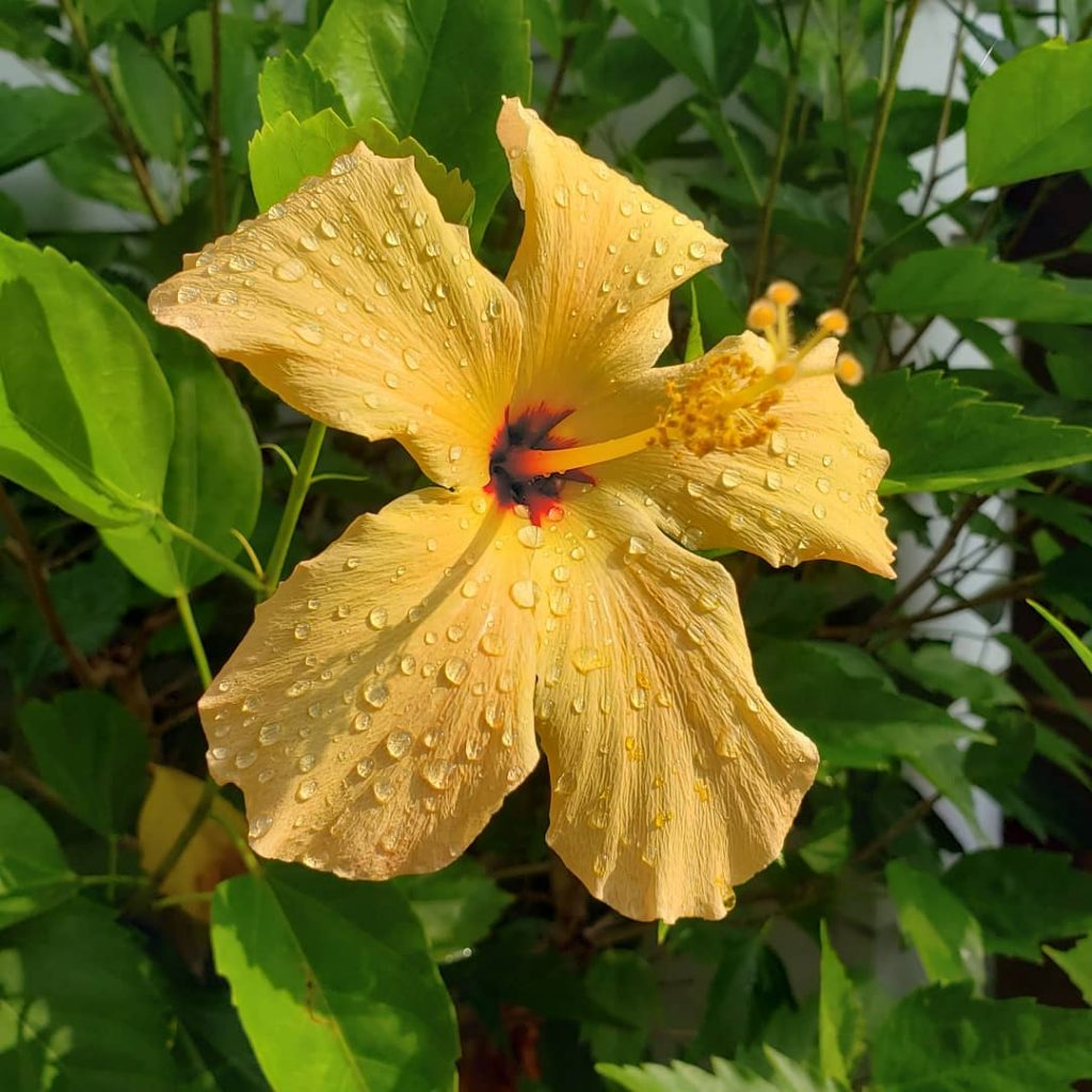 yellow hibiscus How To Plant A Bee Friendly Garden