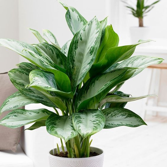 chinese evergreen 7 Indoor Plants to Make Your Home a Natural Haven