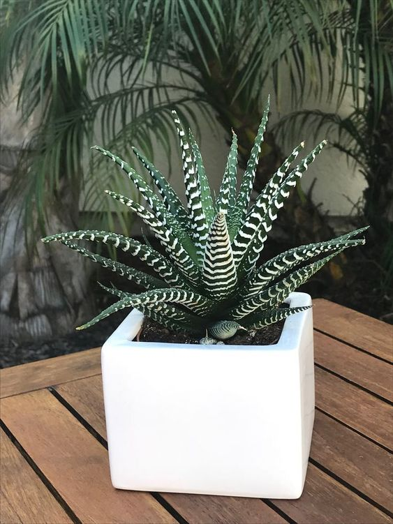 zebra plant succulent 7 Indoor Plants to Make Your Home a Natural Haven