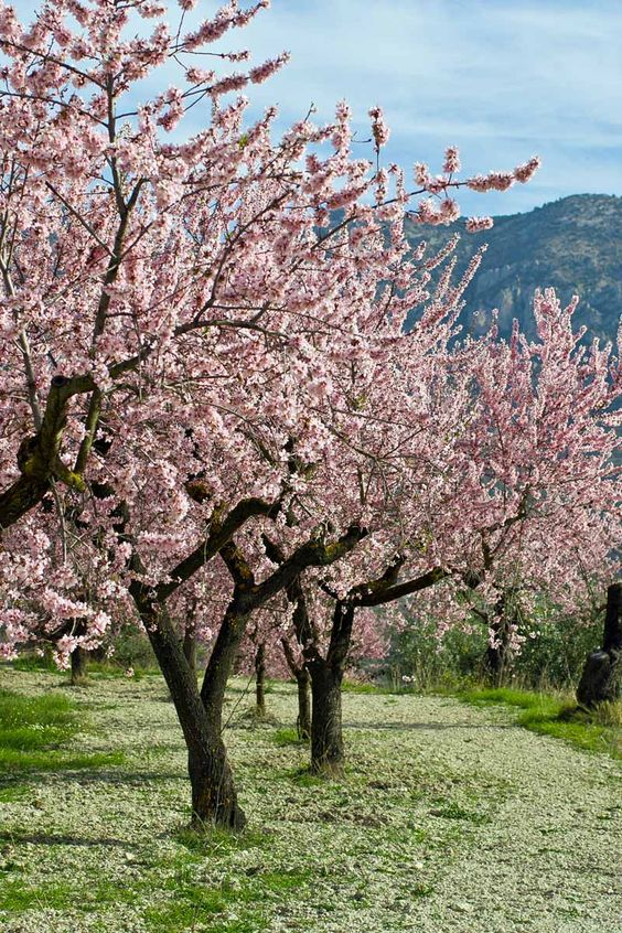 almond trees Using Trees to Enhance Your Garden Design and Boost Home Value