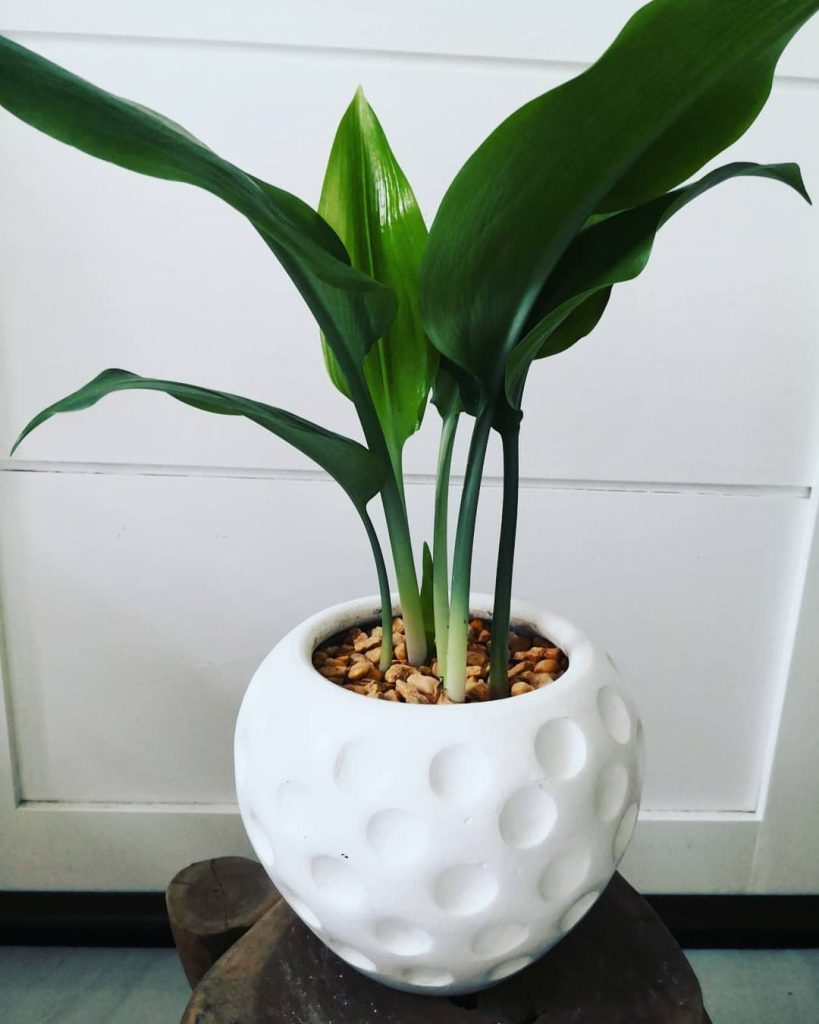 amazon lily 819x1024 7 Indoor Plants That Give Life To Your Interior Design