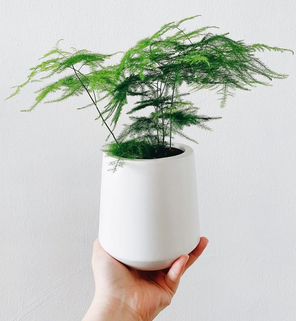 asparagus fern 946x1024 7 Indoor Plants That Give Life To Your Interior Design