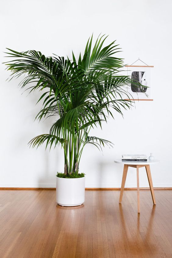 kentia palm 7 Indoor Plants That Give Life To Your Interior Design
