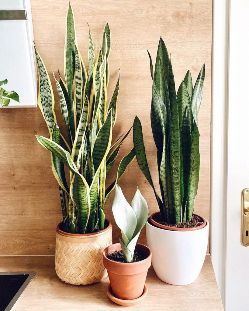 snake plant 819x1024 7 Indoor Plants That Give Life To Your Interior Design