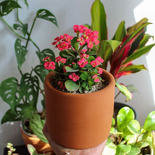 christ plant one of the best indoor flowers 5 Best Indoor Flowers and Ways to Incorporate Greenery Into Your Home