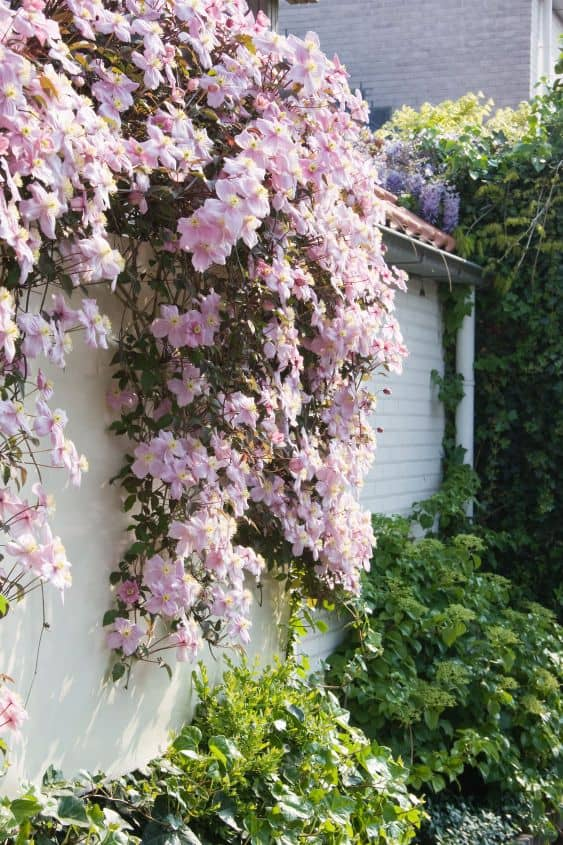 clematis climbing wall 8 Landscape Ideas for Small Front Yards