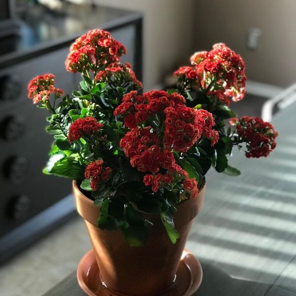 kalanchoe or windows thrill flower 5 Best Indoor Flowers and Ways to Incorporate Greenery Into Your Home