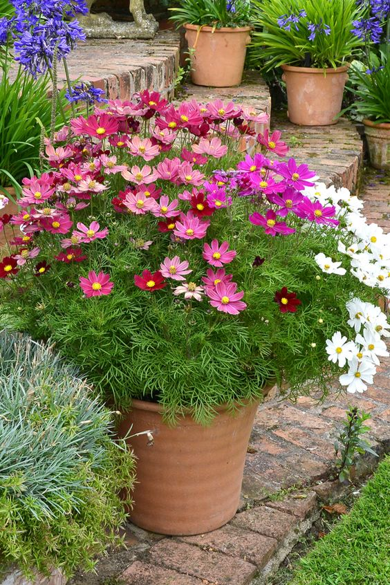 cosmos flower in a pot These 10 Summer Plants and Flowers Will Turn Your Terrace Into a Beautiful Garden