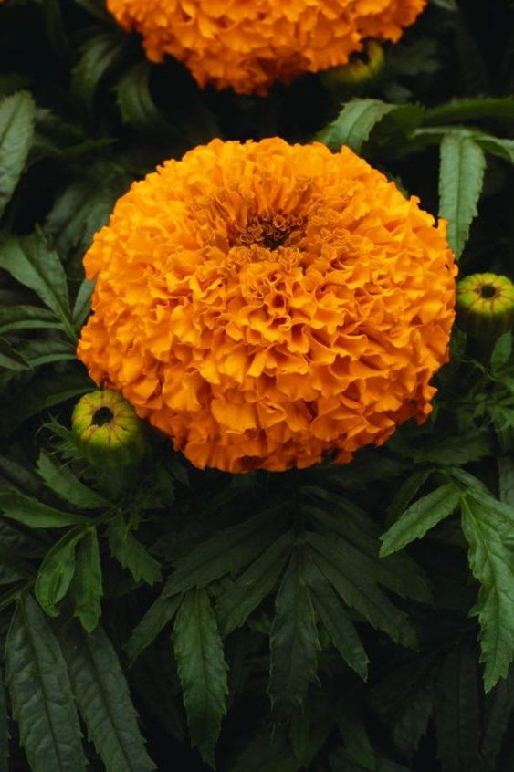 marigold These 10 Summer Plants and Flowers Will Turn Your Terrace Into a Beautiful Garden