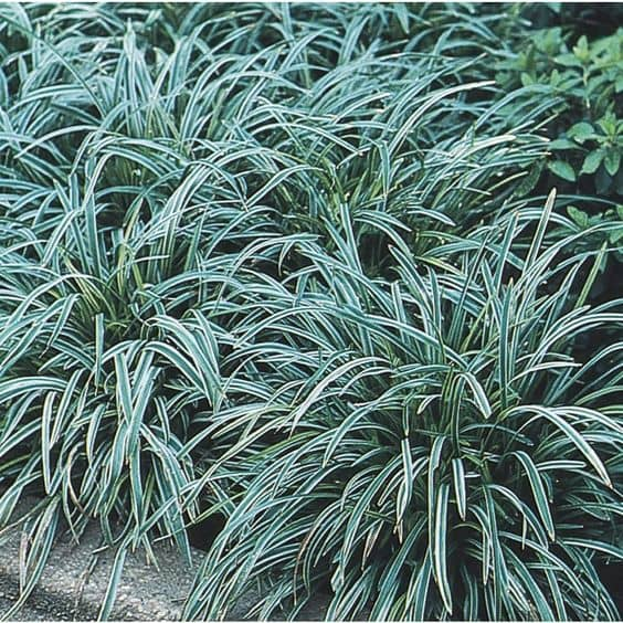 mondo grass These 10 Summer Plants and Flowers Will Turn Your Terrace Into a Beautiful Garden