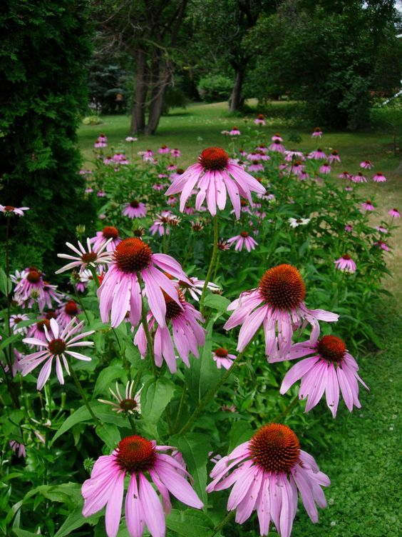 purple coneflowers These 10 Summer Plants and Flowers Will Turn Your Terrace Into a Beautiful Garden