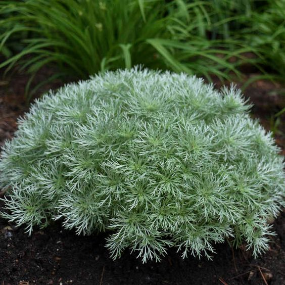 silver mound These 10 Summer Plants and Flowers Will Turn Your Terrace Into a Beautiful Garden