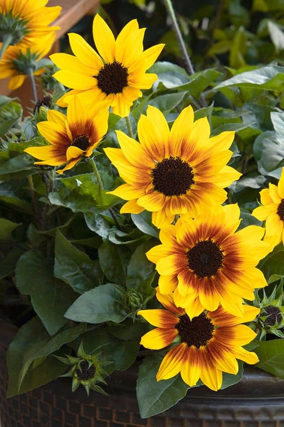 sunflowers These 10 Summer Plants and Flowers Will Turn Your Terrace Into a Beautiful Garden